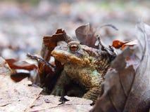 草甸青蛙 免版税图库摄影