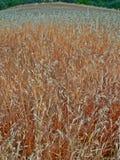 草甸领域用麦子玉米五谷谷物播种 免版税库存照片