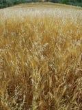 草甸领域用麦子玉米五谷谷物播种 免版税图库摄影