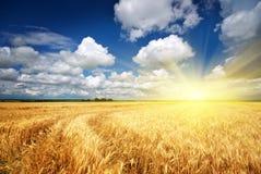 草甸麦子 免版税图库摄影