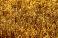 草甸麦田的成熟的耳朵背景  免版税库存图片