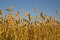 草甸Foto种植的二黑麦 免版税库存图片