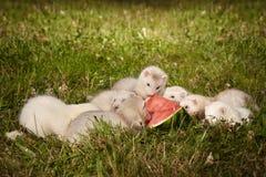 草的六个几星期年纪白鼬婴孩用西瓜 免版税库存照片