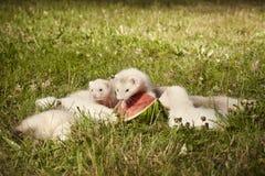 草的六个几星期年纪白鼬婴孩用西瓜 库存照片