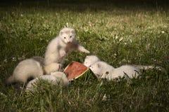 草的六个几星期年纪白鼬婴孩用西瓜 免版税图库摄影