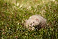 草的六个几星期年纪白鼬婴孩 库存图片
