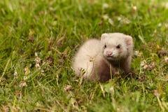 草的六个几星期年纪白鼬婴孩 库存照片