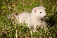 草的六个几星期年纪白鼬婴孩 图库摄影