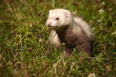 草的六个几星期年纪白鼬婴孩 免版税库存照片