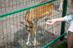 给草的手特写镜头母鹿通过篱芭在动物园里 库存照片