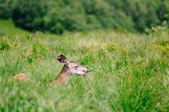 草的母鹿女性 图库摄影