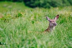 草的母鹿女性 库存照片