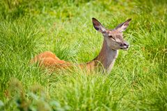 草的母鹿女性 库存图片