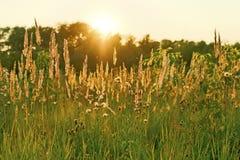 草的狂放的领域在日落的 库存图片