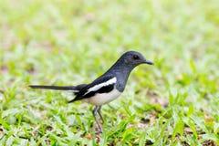 草的鹊,泰国,黑体 免版税库存照片