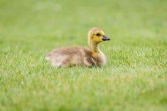 草的-一只新出生的加拿大鹅戈斯林 免版税库存图片