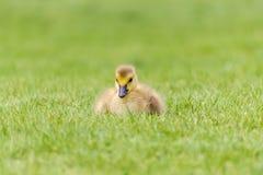 草的-一只新出生的加拿大鹅戈斯林 库存照片