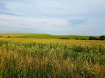 草的黄色领域与蓝天和山的在背景中 小树,夏时 免版税库存图片