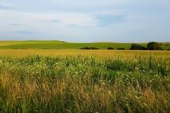 草的黄色领域与蓝天和山的在背景中 小树,夏时 免版税库存照片