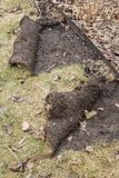 草皮由寻找幼虫#2的浣熊卷起了 免版税库存照片