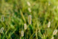 草种子头 免版税库存图片