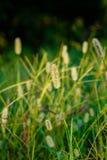 草种子头 免版税图库摄影