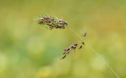 草种子的特写镜头照片 库存图片