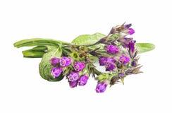 紫草科植物 被隔绝的雏菊药用植物 图库摄影