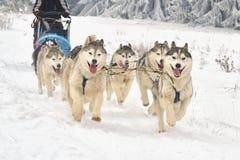 草稿狗种族在雪的 免版税库存图片