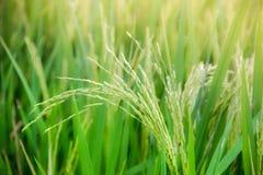 草米领域绿色种子蓝天 免版税库存照片