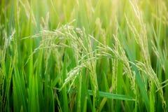 草米领域绿色种子蓝天 免版税图库摄影