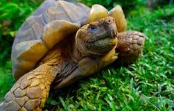 草绿色乌龟 库存图片