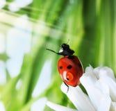 草绿色瓢虫春天 免版税库存照片