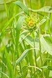 草绿色生长向日葵年轻人 免版税图库摄影