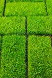 草绿色米 图库摄影