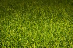 草绿色草坪 免版税库存图片