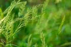草耳朵特写镜头-绿色草甸 免版税库存图片