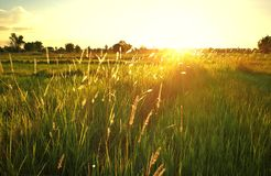 草自然背景在金黄日落期间的草甸 库存图片