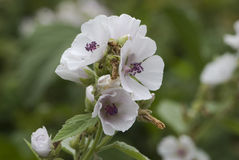 草芙蓉(althaea officinalis) 06 免版税库存照片