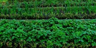 草莓、莓果和葱床  庭院季节 免版税库存照片