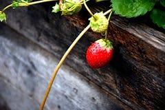 草莓为夏天 库存照片