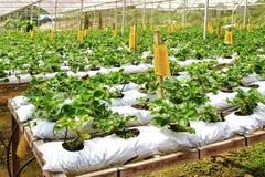 草莓农场。 免版税库存图片