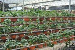 草莓农场在喀麦隆高地马来西亚 免版税库存照片