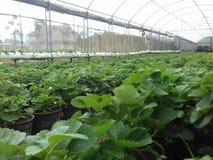 草莓农场在Nuware Eliye 免版税图库摄影