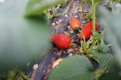 草莓农场 图库摄影
