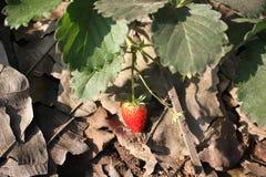 草莓农场 库存照片
