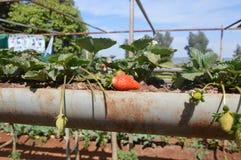 草莓农场 库存图片