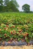 草莓农场III北德国 免版税库存照片