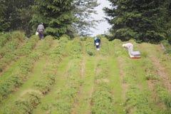草莓农田劳工 免版税库存图片