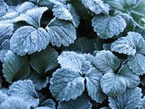草莓叶子冬天背景在霜的 免版税库存照片